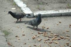 Pigeons mangeant dans la rue Photos stock