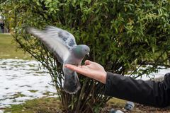 Pigeons mangeant de la main Photographie stock