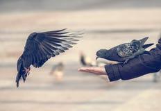Pigeons mangeant de la main humaine Images stock