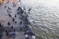 Pigeons mangeant des grains, Thaïlande images libres de droits