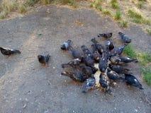 Pigeons mangeant du pain Photographie stock libre de droits
