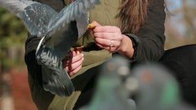 Pigeons mangeant du pain de la main humaine clips vidéos