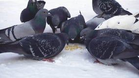Pigeons mangeant le grain dans la neige medias Plan rapproché de picoter gris de pigeons dispersé dans la rangée des céréales dan images libres de droits