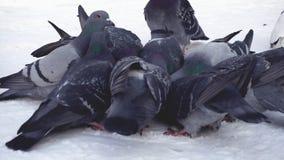 Pigeons mangeant le grain dans la neige medias Plan rapproché de picoter gris de pigeons dispersé dans la rangée des céréales dan photo stock