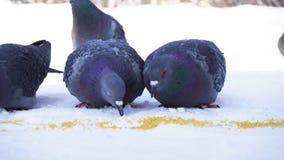 Pigeons mangeant le grain dans la neige Plan rapproché de picoter gris de pigeons dispersé dans la rangée des céréales dans la ne photos libres de droits