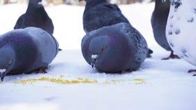 Pigeons mangeant le grain dans la neige Plan rapproché de picoter gris de pigeons dispersé dans la rangée des céréales dans la ne photo libre de droits