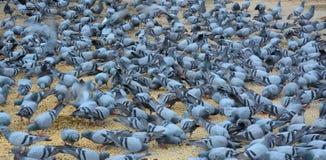Pigeons mangeant sur la rue Photo stock
