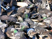 Pigeons manic crowd. Flock of pigeons fighting over a scrap of food.  Abstract image showing random movement in nature Stock Photography