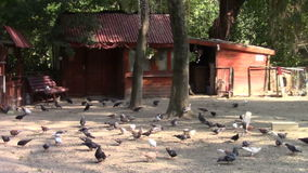 Pigeons. Many pigeons feeding in a courtyard stock video footage