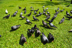 Pigeons. Many pigeons stand in grass Royalty Free Stock Photo