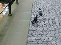 Pigeons marchant sur la rue Image libre de droits