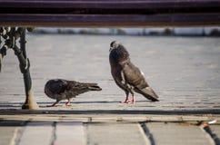 Pigeons mating ritual Stock Images