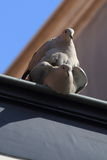Pigeons mating Royalty Free Stock Images
