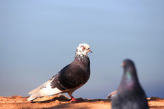 Pigeons meeting Royalty Free Stock Photo