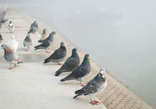 Pigeons in the mist Royalty Free Stock Images