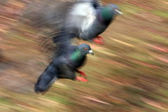 Pigeons in motion. Pan image of two pigeons landing Stock Image