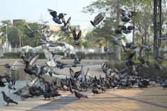 Pigeons. The pigeons must be alive so they flown in to take some rice Royalty Free Stock Photo