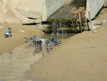Pigeons nageant dans une piscine Photo stock