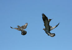 Pigeons on the nature Stock Photos