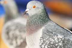 Pigeons on the nature royalty free stock images