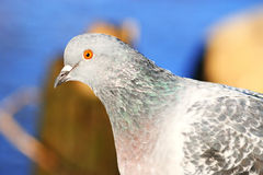 Pigeons on the nature stock photography
