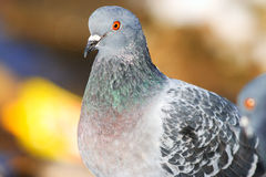 Pigeons on the nature royalty free stock photography