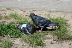 Pigeons near male and female royalty free stock photography