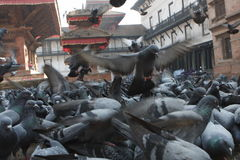 Pigeons in Nepal. Durbar Square in Katmandu, Nepal Royalty Free Stock Photography