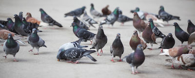 Pigeons. In New York City Stock Image