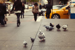 Pigeons on New York street, USA Royalty Free Stock Photography