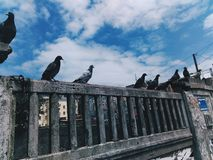 Pigeon gang. Pigeons and nice weather Royalty Free Stock Images