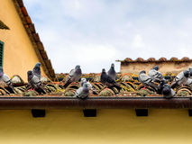 Pigeons on an old roof in Lucca Stock Images
