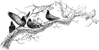 Pigeons On The Tree Branch Royalty Free Stock Photo