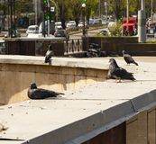 Pigeons on the parapet of the city streets stock photos