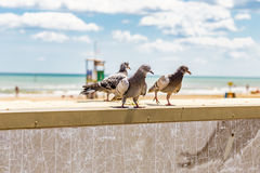 Pigeons on a parapet Stock Photography