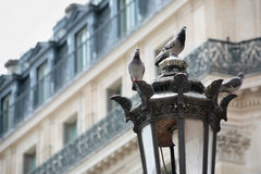 Pigeons in Paris Stock Images