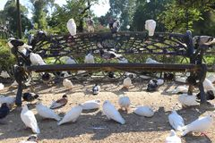 Pigeons on a park bench. Many pigeons on an iron bank in Maria Luisa Park Park of Seville, Spain Royalty Free Stock Image