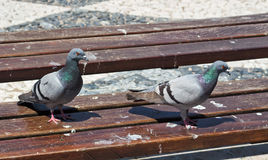 Pigeon's on a Park Bench Stock Images