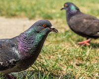 Pigeons in the park during the day Royalty Free Stock Photo
