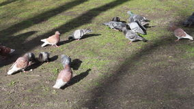Pigeons in the Park stock video footage