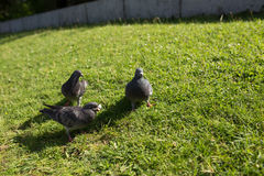 The pigeons in the Park. Pigeons look for food from passers-by in the summer Park. wild birds in nature. Wallpaper for desktop royalty free stock image