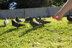 The pigeons in the Park. Pigeons look for food from passers-by in the summer Park. wild birds in nature. Wallpaper for desktop stock images