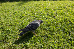 The pigeons in the Park. Pigeons look for food from passers-by in the summer Park. wild birds in nature. Wallpaper for desktop stock photos
