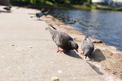 The pigeons in the Park. Pigeons look for food from passers-by in the summer Park. wild birds in nature. Wallpaper for desktop royalty free stock photos