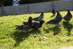 The pigeons in the Park. Pigeons look for food from passers-by in the summer Park. wild birds in nature. Wallpaper for desktop stock photo