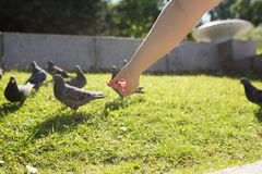 The pigeons in the Park. Pigeons look for food from passers-by in the summer Park. wild birds in nature. Wallpaper for desktop royalty free stock photo