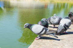 The Pigeons in the Park. Outdoor Stock Photo