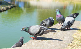 Pigeons in the Park. The Pigeons in the Park, outdoor Royalty Free Stock Photo