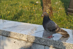 Pigeons in the Park Royalty Free Stock Photography