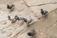 Pigeons in the Park. Royalty Free Stock Photo